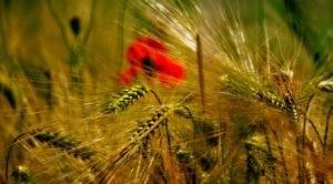 graine semer fleur blé